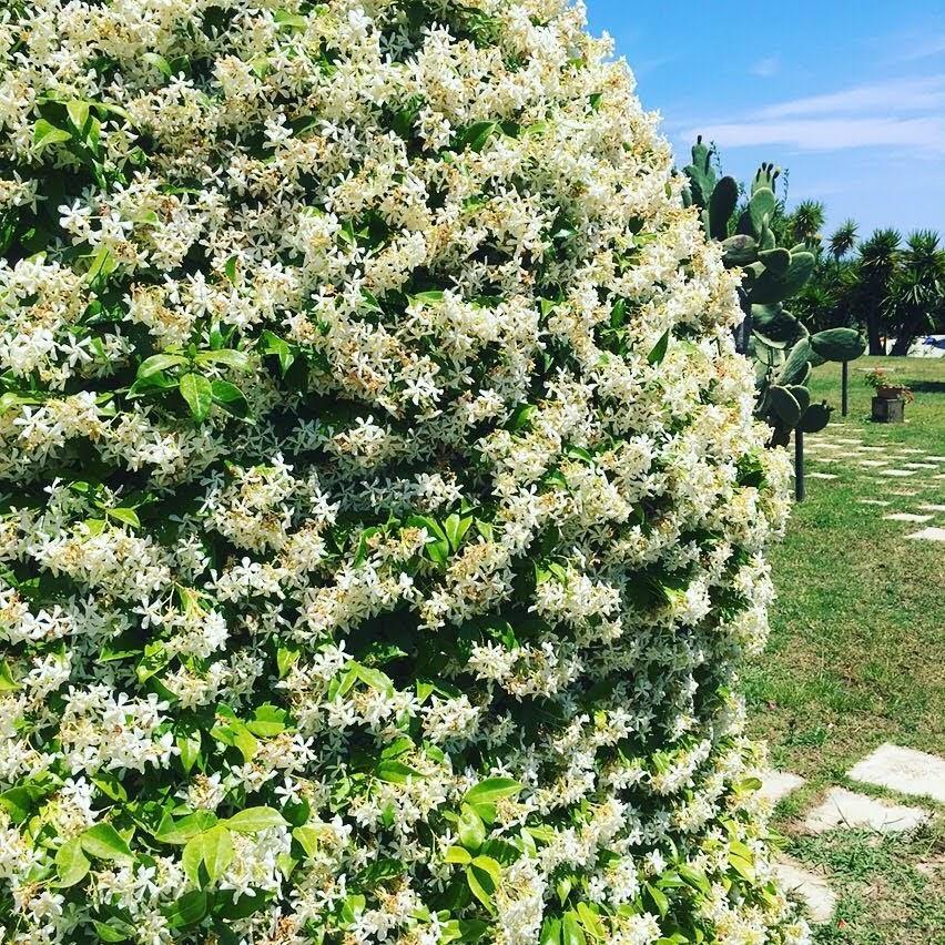 sizilianischer jasmin in fontane bianche hotel direkt am meer, in sizilien bei syrakus, sizilien urlaub